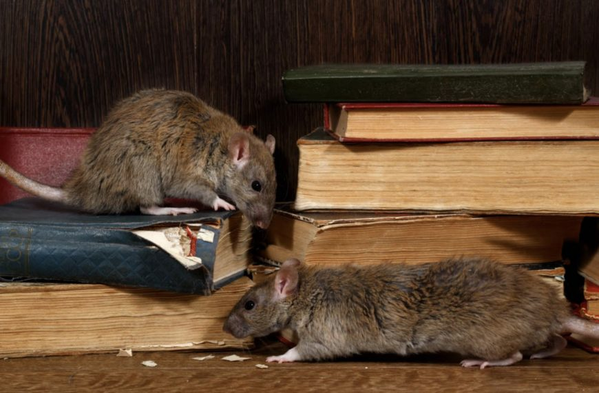 Dreaming Of Rats – Common Meanings And Interpretations Explained